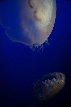 Moon jellies!